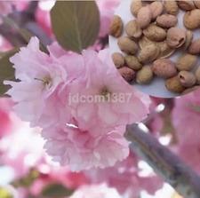 New 10 * Japanese Red Sakura Flower Cherry Blossoms Tree seeds US