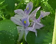 New listing Giant Water Hyacinth Live bulbous floating pond plant.