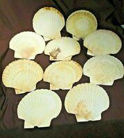 Genuine 10x. Scallop Sea Shells Kitchen beach LARGE Seashell Crafts 12-14CmW