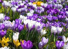 Saffron Seeds Saffron Flower Seeds Saffron Crocus Seeds Saffron Bulbs Saffron