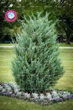 50 pcs/bag Pencil Point Juniper rare tree seeds perennial plant cypress seed