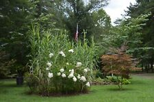 Arundo Donax (Peppermint) Ornamental Grass.  3 ft. blooms on 10 ft. tall plants!