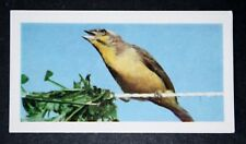 African Green Singing Finch   Indoor Aviary Bird       Vintage Colour Photo Card