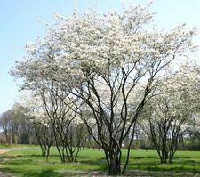 Canadian Serviceberry (Amelanchier canadensis)50 seeds