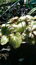 STRAWBERRY BEGONIAS WHOLESALE LOT 25 Plants  Beautiful Super Easy to Grow!!!