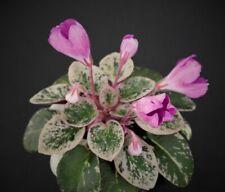 SK-Pangeya Blatt/leaf African Violet Usambaraveilchen