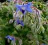 BORRAJA digestiva borago officinalis 150 semillas / seeds