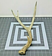 New ListingFemale Shed Mule Deer Real Naturally Antler Horn Non Typical Lighting Cactus
