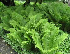 "Ostrich Fern . 18-24"" . 10 Plants"