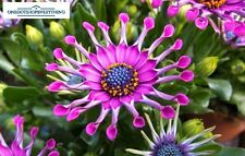 10Pcs Rare African Osteospermum Pink Daisy Flower Seeds Genuine Viable UK Stock