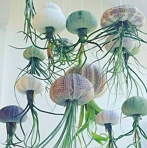Tillandsia Jellyfish Air Plant in Sea Urchin - Floating houseplant easy care