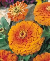 Zinnia- Elegans -Orange King- 100 Seeds