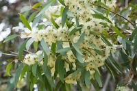 Duftpflanzen blühende duftende Pflanzen Wintergarten Wohnung ZITRONEN-EUKALYPTUS