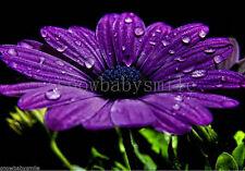 50 African Blue Eyed Daisy Seeds Osteospermum Ecklonis Cape Mixed Colors Flower