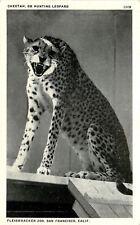 San Fransisco California~Fleishhackker Zoo~Cheetah~Hunting Leopard~1920s