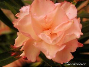3 Oleander Stecklinge - PROVENCE - SOUVENIR DE MICHELE - lachs gefüllt mit Duft
