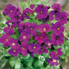 PERENNIAL FLOWER AUBRIETA GRACILLIS ROCK CRESS ROYAL VIOLET 0.15 GRAM