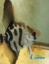 Clown Angelfish - Dime Size (3 Fish)