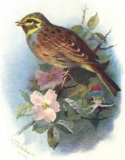 BIRDS. Cirl Bunting  1901 old antique vintage print picture