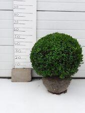 Buchsbaumkugel in 55cm Formschnitt mit Wurzelballe! Sehr günstig! Nur € 24,95!