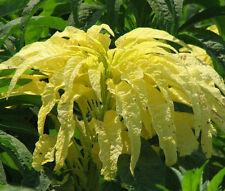 Amaranthus Yellow Amaranthus Tricolor - 500 Bulk Seeds