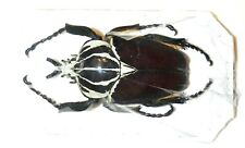 Cetonidae: Goliathus goliathus....Male....GIGANT! 101+MM....Comeroon....Africa.