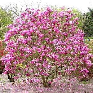 1 X MAGNOLIA 'SUSAN' DECIDUOUS BUSHY SHRUB HARDY GARDEN PLANT IN POT