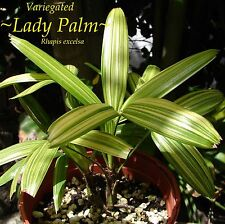 ~RHAPIS EXCELSA~ Variegated Lady Palm Tree (Japanese) Sml Potted Plant US seller