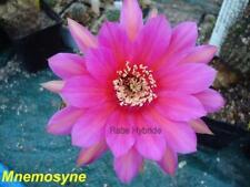 Charlemagne Echinopsis Schick Hybride #128 Gr 2