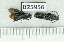 B25956 – Hymenoptera species .beetles,insects QUANG TRI vietnam