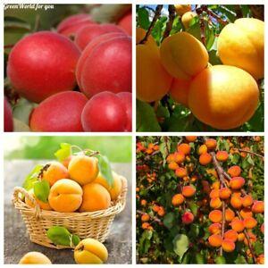 2Pcs Apricot Tree Seeds Prunus armeniaca Abrikoos 3 Kinds Perennial Tasty Plants