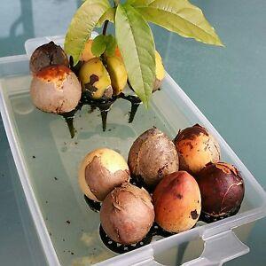 DIY Avokado / Avocado Kern Halter für die Avokadobaum Zucht Made in Germany