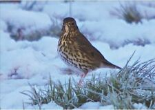 Wildlife Hospital Charity Xmas Cards - Song Thrush – pack of 10