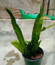 Campyloneurum Phyllitidis Fern Plant Forest Exotic Tropical Green Rare Hard Find