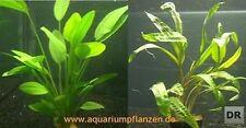 1 Topf Echinodorus + Topf Cryptocoryne, Aquariumpflanze