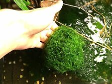 "Live Java Moss 4""x 4"" swatch or Golf Ball Size"