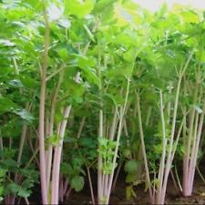 800pcs Imported red stalk celery vegetables Seeds