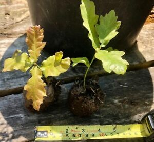 New Forest oak tree saplings and seedlings from our 400-year-old oak