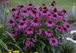 Bright Purple Coneflower💜20+Seeds💜Echinacea·Flower·Perennial·Cut·Summer·Bees