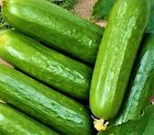 Ashley Long Cucumber Seeds  50 SEEDS  NON-GMO  --BUY 4 ITEMS FREE SHIPPING