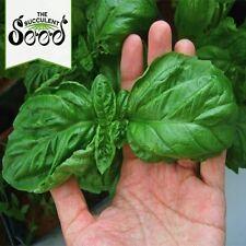 BASIL - Italian Large Leaf (1000 Seeds) PESTO BASIL Bulk