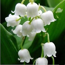 Lily of the Valley Flower Windbell Orchid Seeds 80 Seeds --BUY 4 ITEMS FREE SHIP