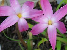 Rain Lily, Zephyranthes Labufarosea Chablis Blush, 2 bulbs, NEW, habranthus