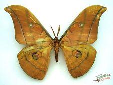 Japanese oak silkmoth Antheraea yamamai titan SET x1 A- M saturniidae
