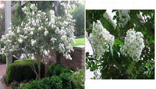 White Flowered Crepe Myrtle Bush Over 25 + Flower Seeds