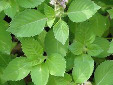 Holy Basil Tulsi Ocimum Sanctum Medicinal Herb Organic 500 seeds