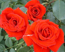LOVE KNOT  -5.5lt Potted Climbing Garden Rose Bush - Deep Red Blooms, Repeats