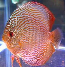 """x2 RED SNAKE SKIN DISCUS PACKAGE 2"""" - 3"""" EACH - TANK RAISED - FREE SHIPPING"""
