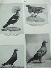 ANTIQUE PRINT DATED 1926 DOVE CROWNED PIGEON NICOBAR PIGEON STOCK RING DOVE