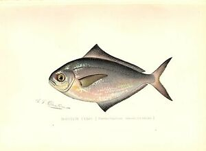 1900 Antique Denton Fish Print ~ Butter-fish
